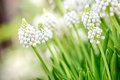 A blooming white muscari flower closeup image of known as ocean magic Stock Photography