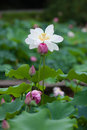 Blooming white and pink lotus with buds Royalty Free Stock Photos