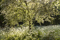 Blooming white tree and Cow parsley in spring Stock Photos