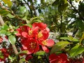 Blooming wild rose of red color. Spring awakening of nature in the sunlight. Pollination of fruit plants. Joyful mood. Green Royalty Free Stock Photo