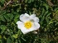Blooming wild rose white flower macro, shallow DOF, selective focus, shallow DOF