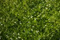 Blooming wild strawberries Royalty Free Stock Photo