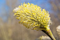 Blooming willow yellow blossoms on a tree branch early spring Royalty Free Stock Photography