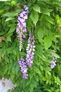 Blooming wisteria purple flowers alongside new spring growth Royalty Free Stock Image