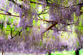 The Blooming Wisteria