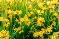 Blooming yellow daylilies, Hemerocallis, in the summer garden, selective focus Royalty Free Stock Photo