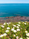 Blooming yellow delosperma flowers on the slope of the azure sea beach Stock Images