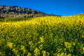 Blooming yellow flowers field of beautiful swiss landscape Royalty Free Stock Photo