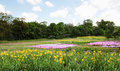 Blooming yellow iris meadow and phlox spring landscape Royalty Free Stock Photo