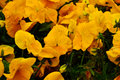 Blooming yellow pansies enlarged on the flower bed Royalty Free Stock Images