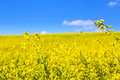 Blooming yellow rape field under blue sky in poland Royalty Free Stock Image