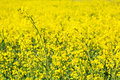 Blooming yellow rape field under blue sky in poland Stock Images