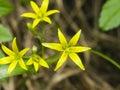 Blooming Yellow Star-of-Bethlehem, Gagea lutea, closeup, shallow DOF, selective focus