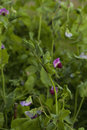 Blooming pea plants Royalty Free Stock Photo