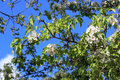 Blooming young pear tree in the spring garden. Royalty Free Stock Photo