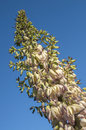 Blooming yucca tall inflorescence stalk of chaparral hesperoyucca whipplei with creamy yellow flowers on blue sky background Stock Photography