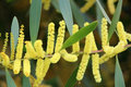 Blooms of Australian Wattle Species Royalty Free Stock Photo