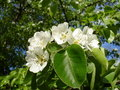 Blooms Pear Stock Photography