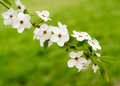 Blooms tree branch in spring against blur background with copyspace Royalty Free Stock Photos