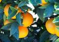 Bloomy orange garden in Valencia Royalty Free Stock Photo