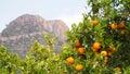 Bloomy orange tree and a mountain in Valencia, Spain Royalty Free Stock Photo