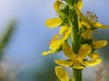 Blossom of an agrimony agrimonia eupatoria Royalty Free Stock Photography