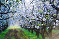 Blossom almond trees Stock Image