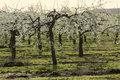 Blossom apple orchards Royalty Free Stock Photo