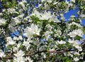 Blossom apple tree branch Stock Images