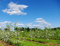 Blossom apple tree i Royalty Free Stock Photos