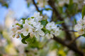 Blossom apple tree in spring day beautiful branch Royalty Free Stock Image