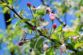 Blossom of apple trees in springtime Royalty Free Stock Photo