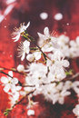 Blossom branch of cherry tree on red wooden background see series Royalty Free Stock Photos