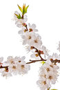 Blossom brunch isolated on white studio shot of apricot Royalty Free Stock Photo