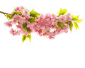 Blossom of cherry tree. Fresh spring sakura flowers Royalty Free Stock Photo