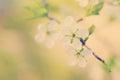 Blossom cherry tree Royalty Free Stock Photo