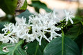 Blossom of coffee bush,Coffea arabica Royalty Free Stock Photo