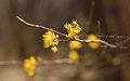 Blossom cornel this is wild in caucasus forest in spring Stock Images
