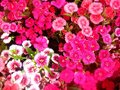 Blossom flower flowers pink in thailand Stock Photo