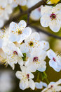 Blossom flowers as a colorful background, macro photo Royalty Free Stock Photo