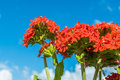 Blossom flowers, low angle view, under blue sky. Royalty Free Stock Photo