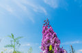 Blossom flowers, from below, under blue sky,  clouds. Royalty Free Stock Photo