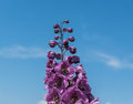 Blossom flowers, from below, under blue sky, small clouds. Royalty Free Stock Photo