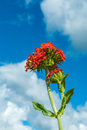 Blossom flowers, low angle view, under blue sky and clouds. Royalty Free Stock Photo