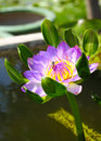 Blossom lotus flower with bee Stock Photography