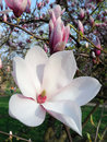 Blossom of magnolia tree close up one the gratest first spring flowers in europe Stock Image