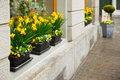 Blossom narcissus in the windows outdoor photo Stock Images