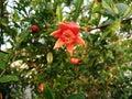 Blossom orange pomegranate flower on plant Royalty Free Stock Photo