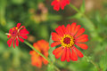 Blossom orange zinnia in garden Royalty Free Stock Images