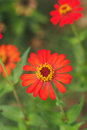 Blossom orange zinnia in garden Stock Images